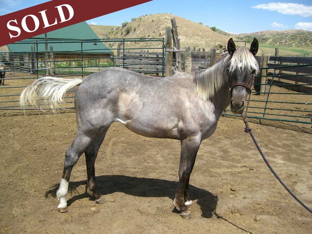 2019 Plumb Silver Blue Apache Diamond Filly
