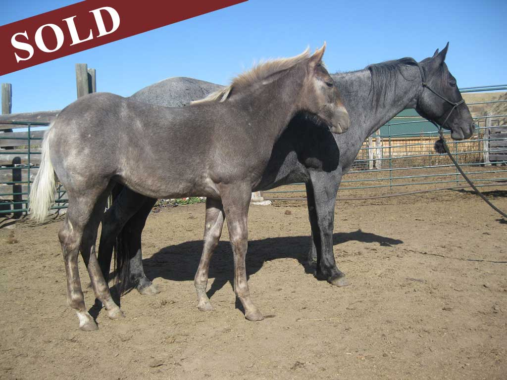 2019 Plumb Silver Powder River Ambrosia Blue Roan Black Silver Dapple Filly