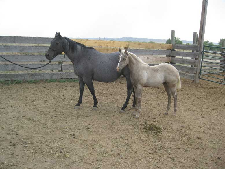 2020 Plumb Hancock Plenty Blue Pepper Black Silver Stud Colt Stallion