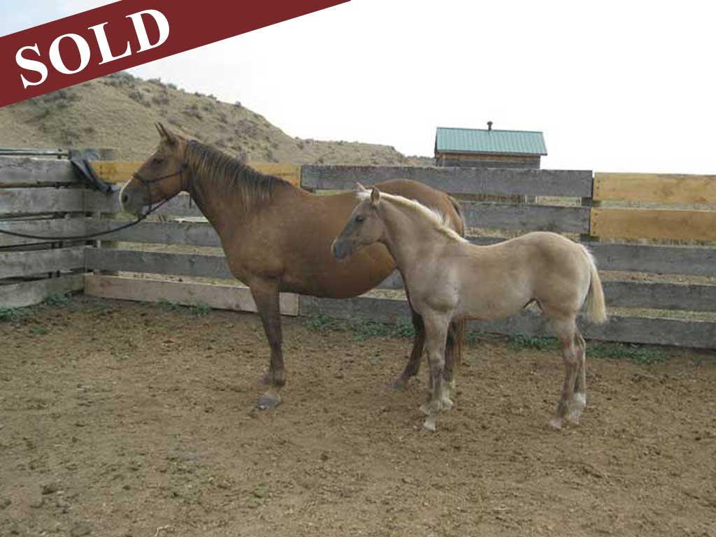 2020 Powder River Rowdy Lil Silver Agate Grulla Silver Filly