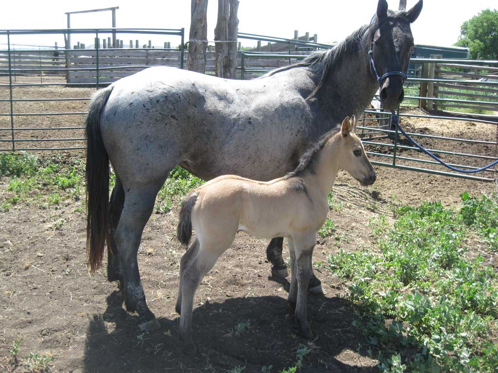 2018 Lily Blue Wolf Grulla Filly