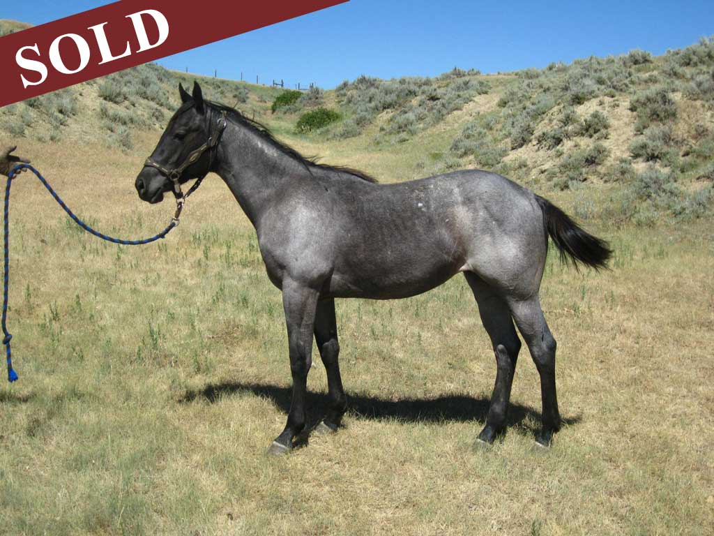 2015 Agates Blue Roan Filly