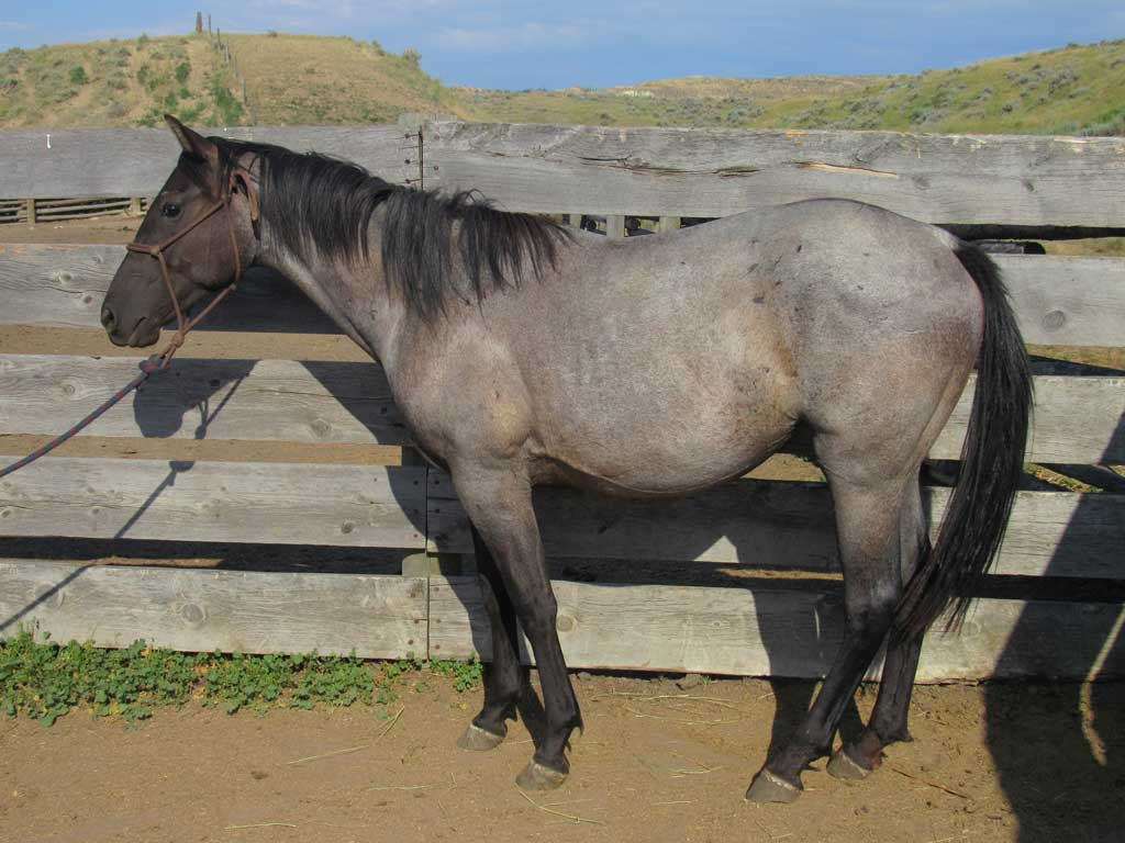 2016 Bluebell's Blue Roan Filly