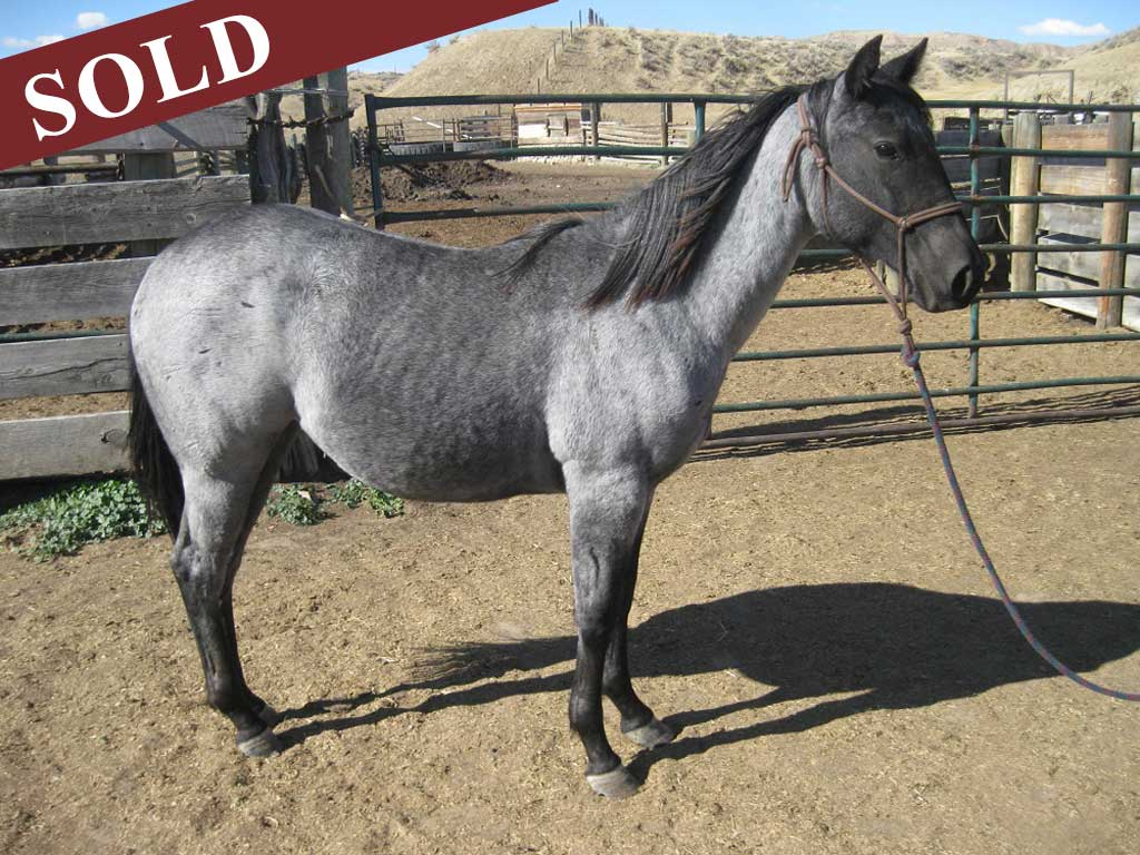 2019 Plumb Silver Hancock Crimson Blue Hancock Filly